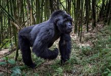 Get Gorilla Safari